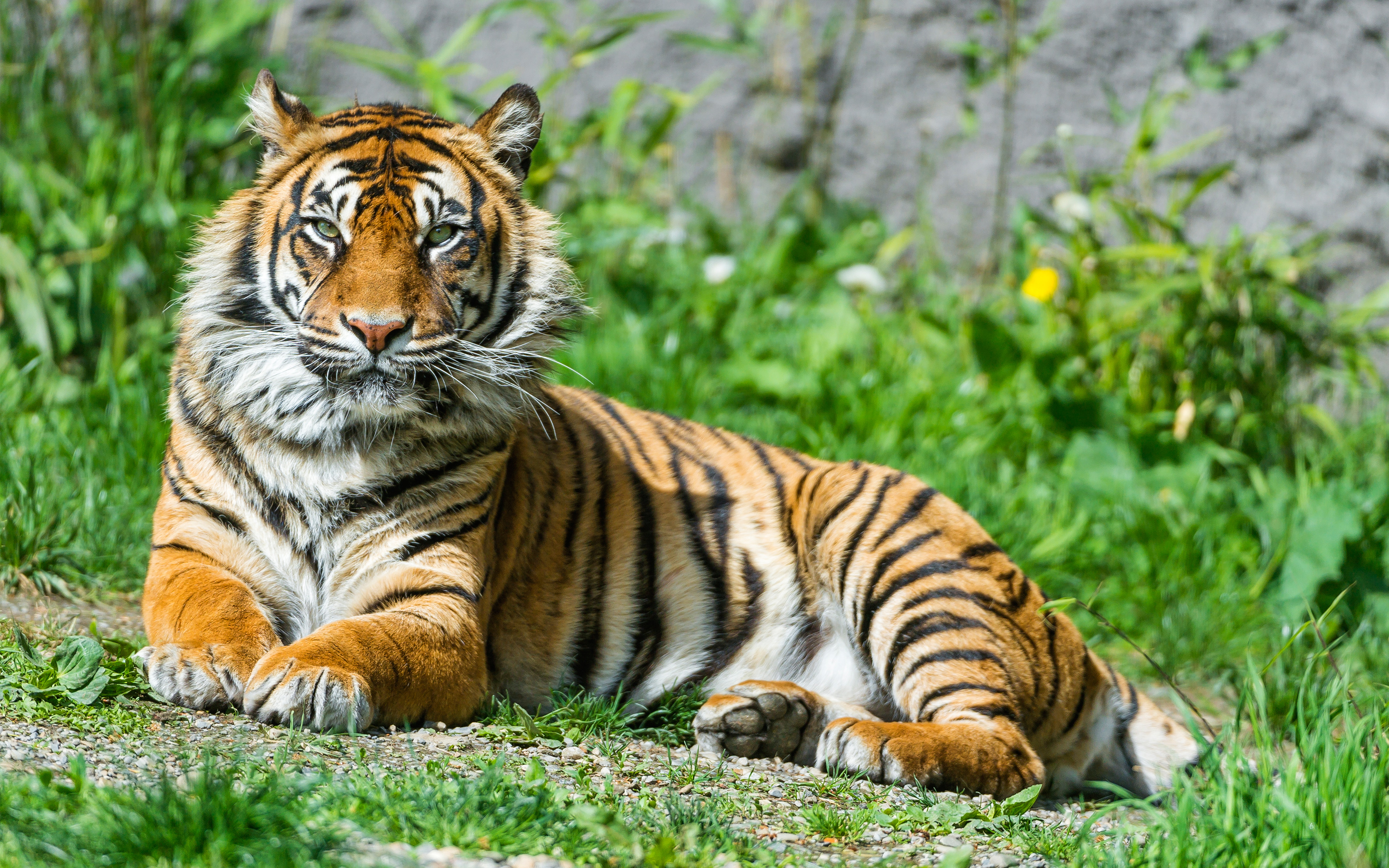 Sumatran Tigress 4K
