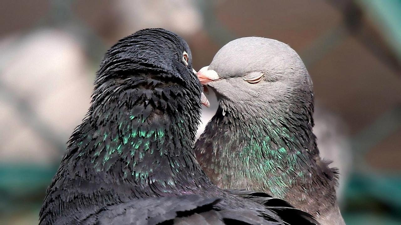 Cute Birds Are Kissing