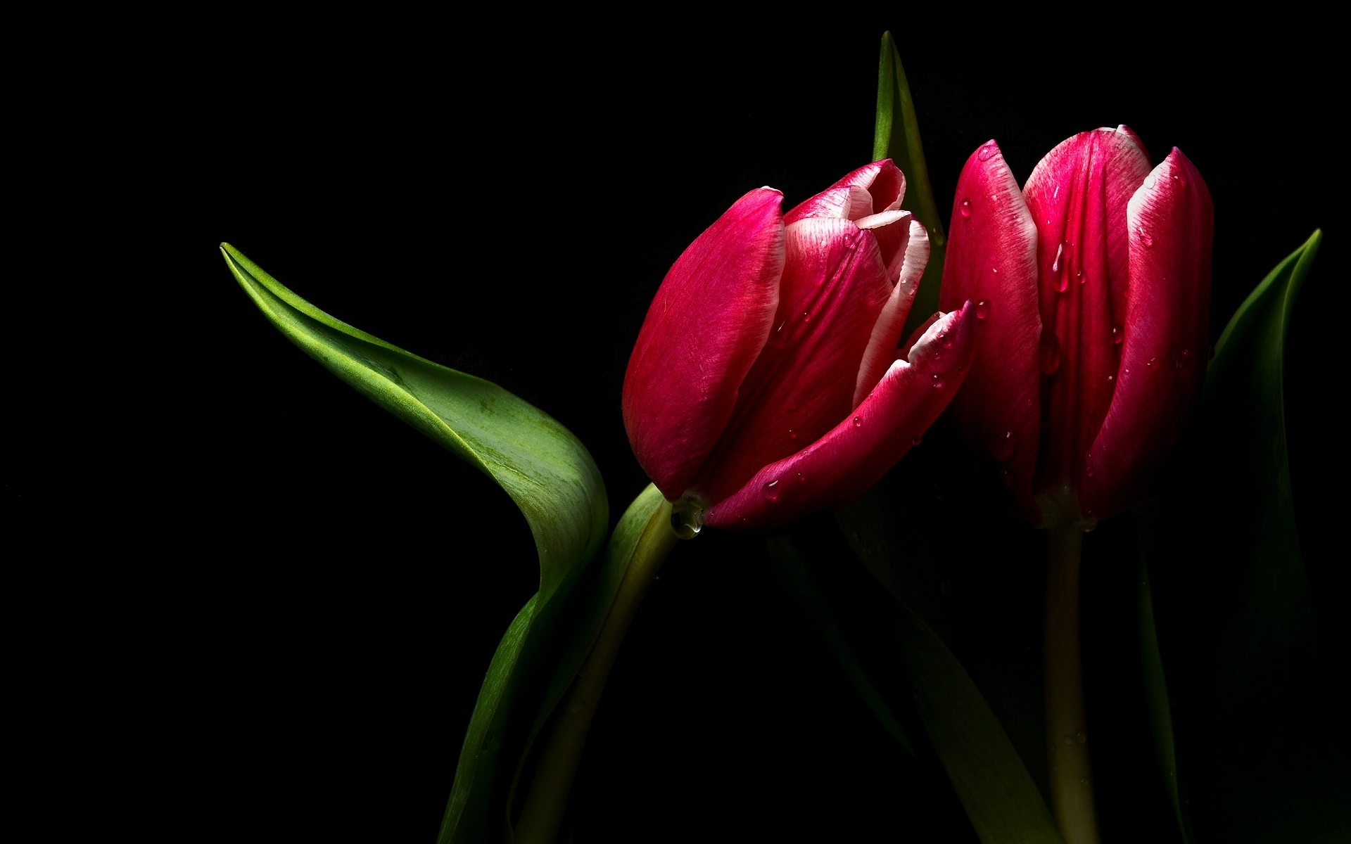 Red Tulip And Green Leaves On Black Nature