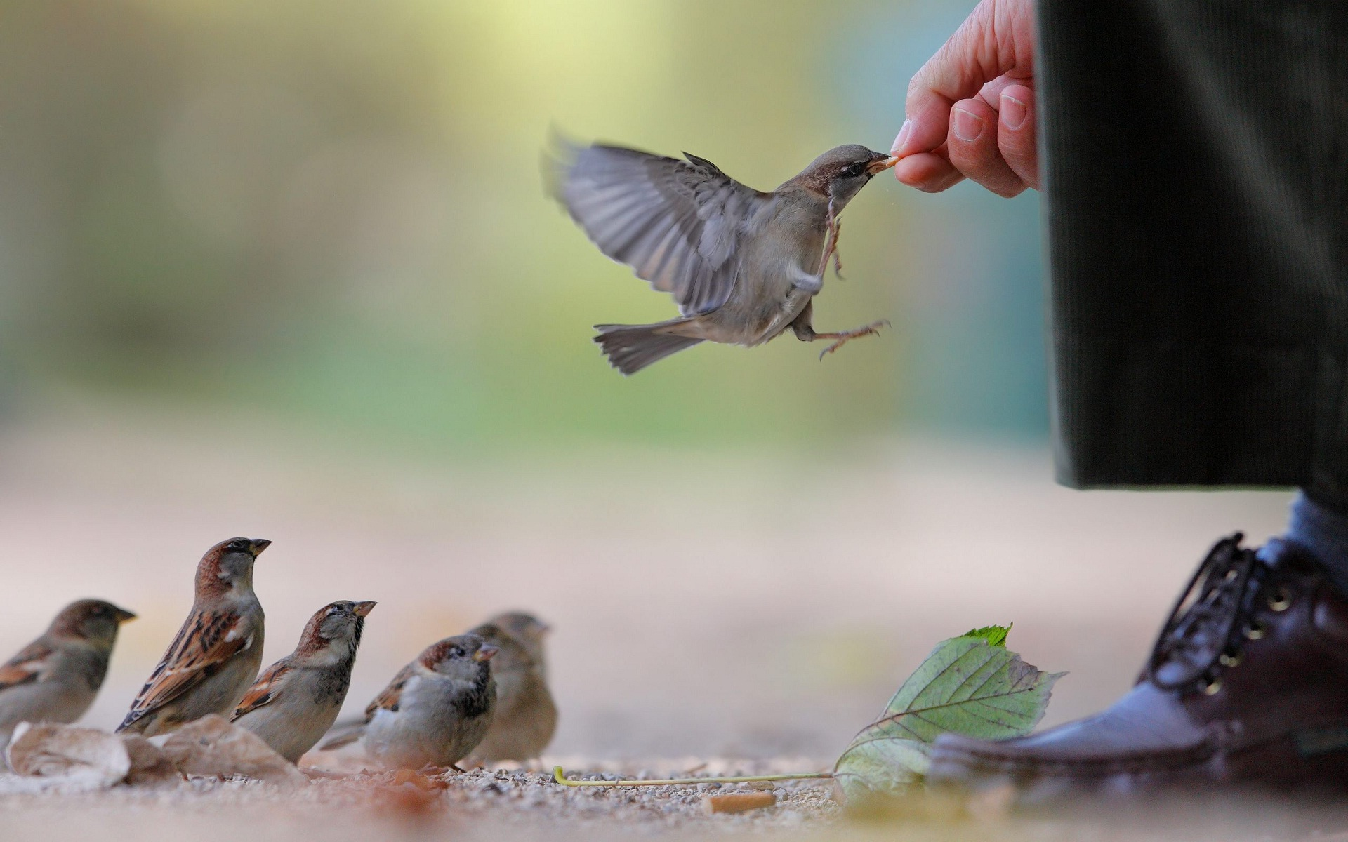 Cute Sparrow Bird Feeding From Man Hand
